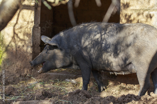 Photo Stands Ass Black Iberian sow is eating a potato. Breeding pigs in organic livestock