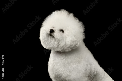 Closeup Purebred White Bichon Frise Dog Sitting and proudly looking up isolated Canvas Print