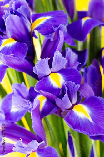 Poster Iris Purple iris flower on the yellow background.