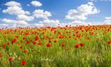 Fototapeta Kwiaty - Maki polne-kwiaty,kolor selektywny