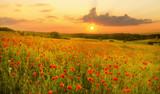 Fototapeta Kwiaty - Maki polne-kwiaty
