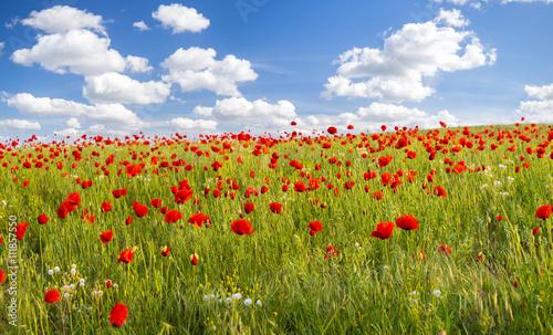 Fototapeta Maki polne-kwiaty,kolor selektywny obraz