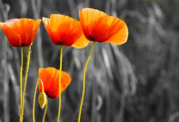 Panel Szklany Maki Maki polne-kwiaty,kolor selektywny
