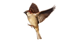 Flying House Sparrow On White ...