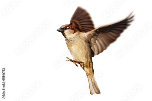 Papiers peints Oiseau Flying House sparrow on white background (Passer domesticus)