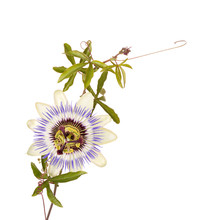Passionflower With Stem And Tendrils