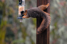 A Fox Squirrel Stealing Seeds ...