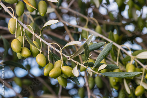 Wall Murals isolated green olives on olive tree