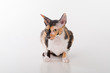 Curious Cornish Rex Cat Sitting on the White Desk. White Background. Portrait.