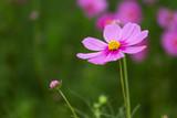 Fototapeta Kosmos - Cosmos flowers in the garden.