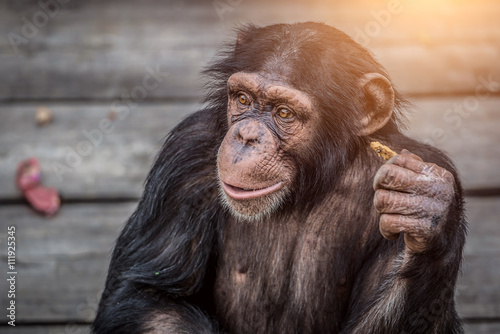 Canvas Print Young Chimpanzee Portrait closeup