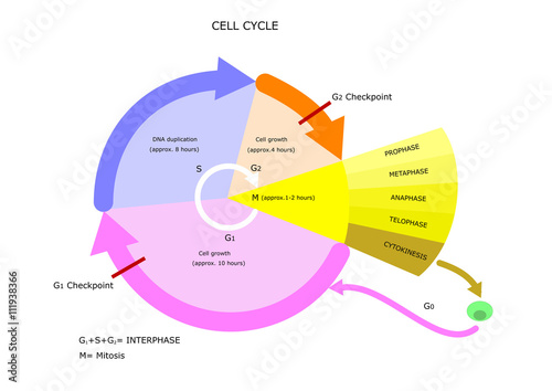 Obraz na plátne biology: cell cycle, main phases