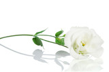 Beautiful white flower with leafs  on white background.  Eustoma