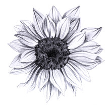 Sunflower In Bloom, Hand Drawn...