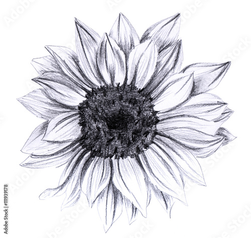 Sunflower in bloom, hand drawn on white background Canvas-taulu