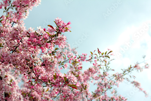 Beautiful Season Is Spring Fruit Tree Blossoms Magnificently Pink
