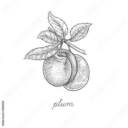 Canvas Print Vector illustration of plum fruit.