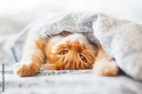 fototapeta na ścianę Cute ginger cat lying in bed under a blanket. Fluffy pet comfortably settled to sleep. Cozy home background with funny pet.