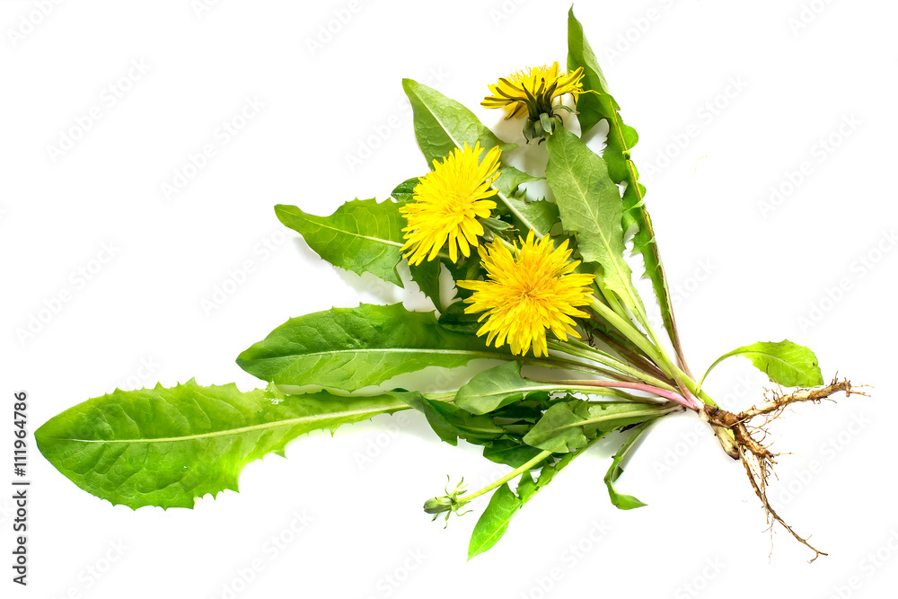 Fototapety, obrazy: Medicinal plant dandelion on a white background