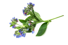 Medicinal Plant Comfrey On A White Background