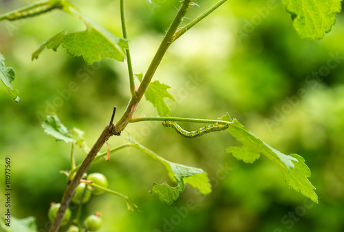 Poster Printemps Sawfly caterpillars on red currant plant / Cimbus connatus