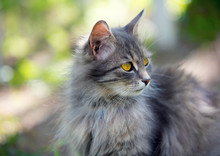 Portrait Of Siberian Cat Walki...
