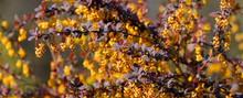 Blooming Barberis Background
