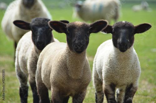three little lambs in the fields Fototapete