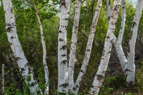 Troncos de Abedul. Betula pubescens.