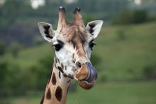 Rothschild's Giraffe (Giraffa ...