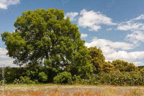 Encinar. Quercus ilex. © LFRabanedo