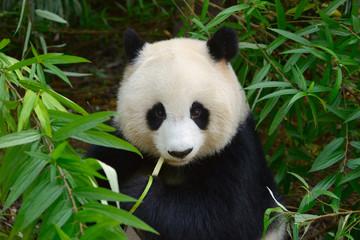 Panel Szklany Panda Hungry giant panda bear eating bamboo