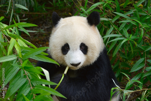 Spoed Foto op Canvas Panda Hungry giant panda bear eating bamboo