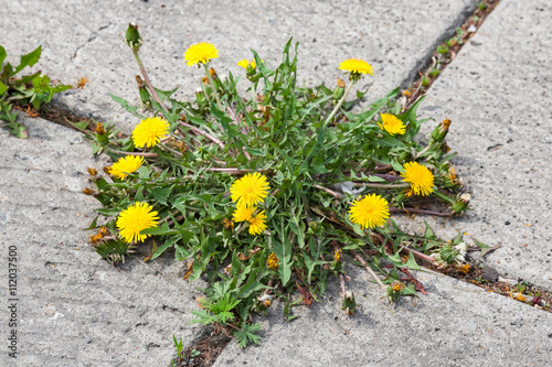 Fotografie, Obraz  Dandelion, taraxacum officinale, growing on pavement