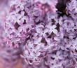 Lilac nature flower background. Spring