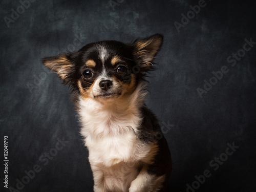 Carta da parati Chihuahua