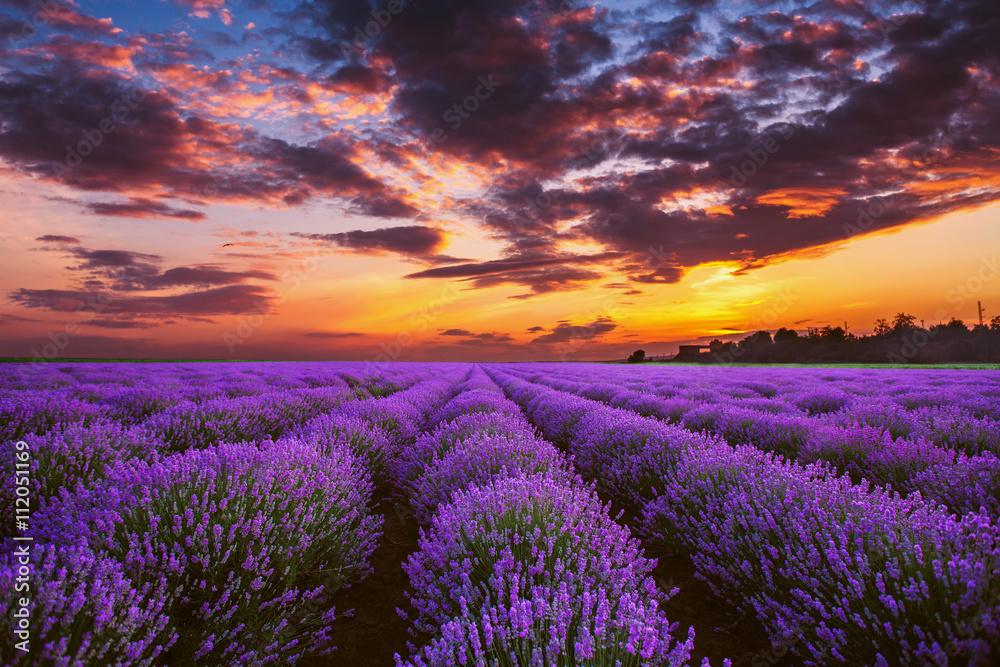 Fototapety, obrazy: Lawendowe kwitnące pola o zachodzie słońca