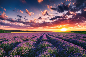 Fototapeta Lavender flower blooming fields in endless rows. Sunset shot.