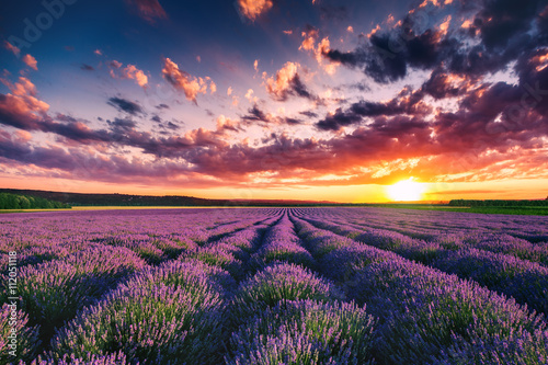 Poster Village Lavender flower blooming fields in endless rows. Sunset shot.