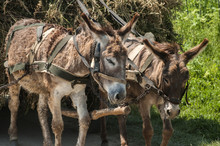 Donkeys Pulling A Cart Loaded With Hay