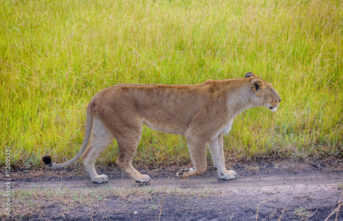 Lioness walks in the grass in Kenya, Africa Poster