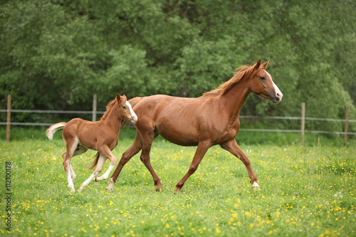 Photo  Lovely couple - mare with its foal - running together
