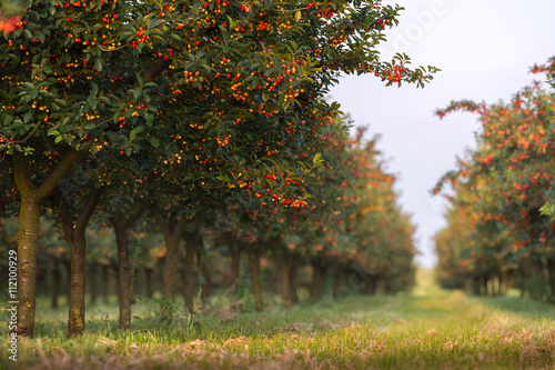 Tableau sur Toile Cherries on orchard tree
