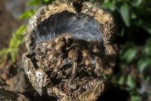 Tarantula (Nhandu Coloratovill...