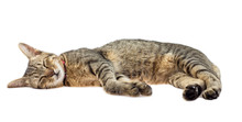 Cat Sleeps Isolated On White Background