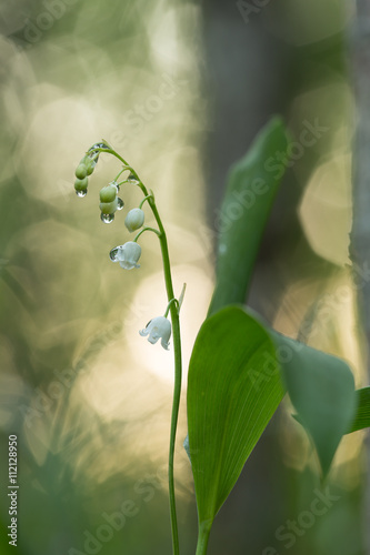 Staande foto Lelietje van dalen Lily of the valley, Concallaria majalis with waterdrops, reflections in the background