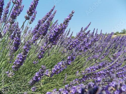 Poster Lavendel lavande