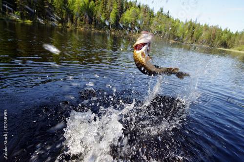 Fotografie, Obraz  Hooked štika skákání z vody