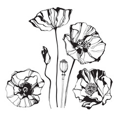 Naklejka Poppy, isolated elements for design on a white background. Vector illustration.