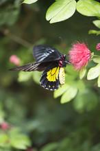 Cattle Heart Butterfly On Pink Flower
